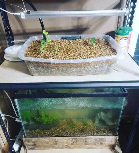 Basic cultivation system for cannabis in aquaponics