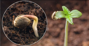 Growth of the shoot and exit of the cotyledons