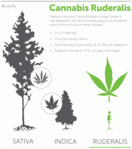 Cannabis ruderalis comparison with indica and sativa strains