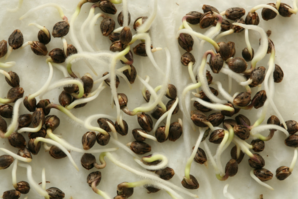 The Germination Of Cannabis Seeds