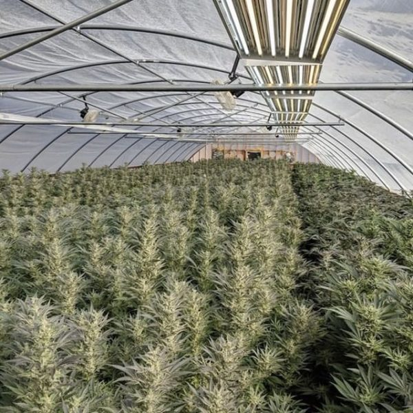 How to build a DIY cannabis greenhouse