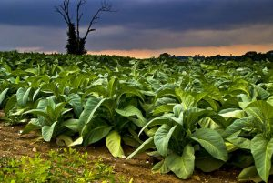 planting tobacco in europe