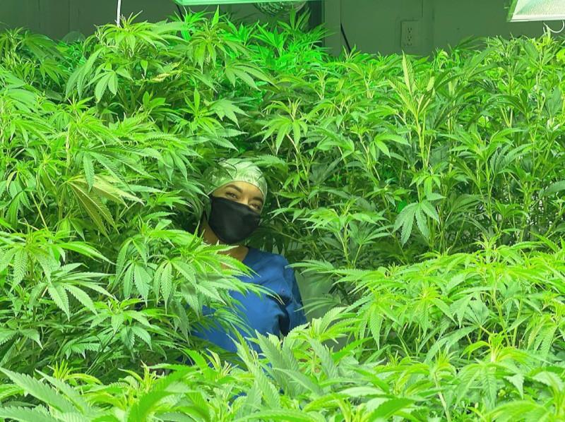 cannabis e chemioterapia, marijuana medica ai pazienti per utilizzo a scopo terapeutico