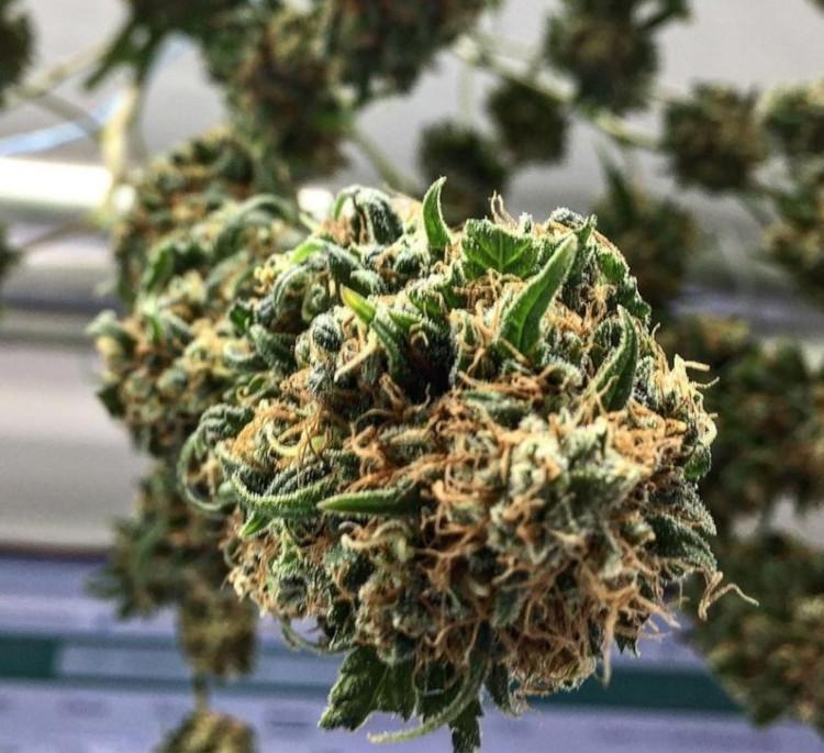 Produzione di marijuana e l'aumento dei terpeni nella cannabis