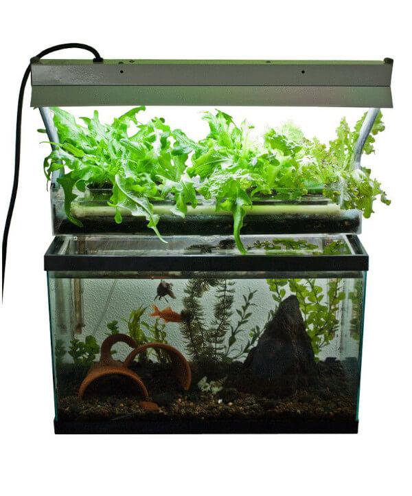 Sistema di coltivazione base per la cannabis in acquaponica