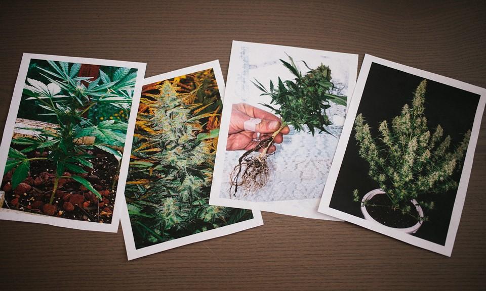 Cannabis ruderalis, autofiorente con un ciclo di vita e fioritura breve