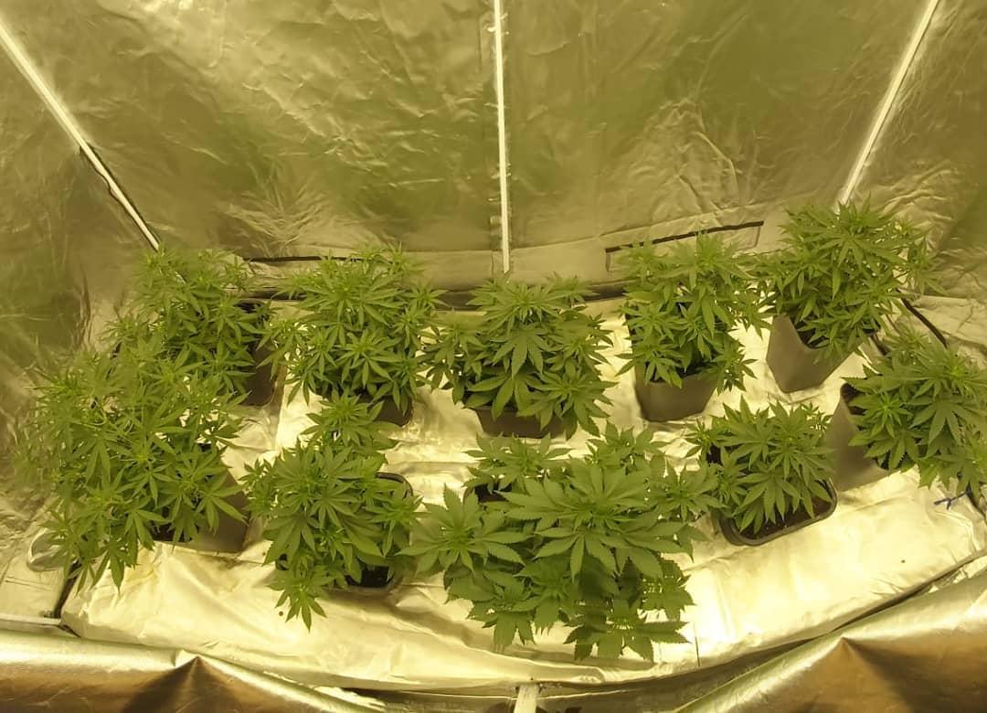 Serra di cannabis indoor destinata a scopi medici e curativi