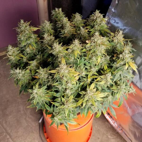 Pianta di marijuana autofiorente
